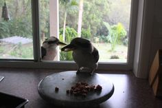Breakfast for the kookaburras