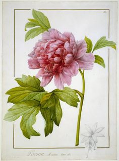 Paeonia moutan var. B. Paeonia suffruticosa  Maker:  Redouté, Pierre Joseph; draughtsman; Flemish, 1759-1840    Category:  drawing  Name:  drawing    Date:  1812  School/Style:  French