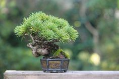 Pinus parviflora, also known as five-needle pine, Ulleungdo white pine, or Japanese white pine, it is native to Korea and Japan.