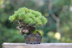 Super mini bonsai blog | mini bonsai Pinus parviflora