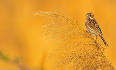 reed bunting.. by Margitta Thomann - Photo 203694129 / 500px