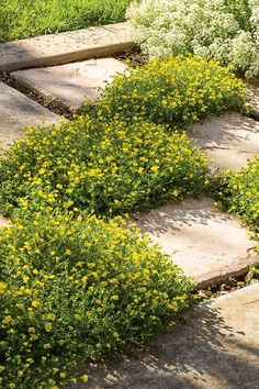GoldDust Mecardonia and Snow Princess Lobularia are two drought tolerant, tough varieties that thrive in rock gardens or along paths next to your hydrangeas.