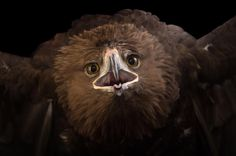 photo by @joelsartore | A greater spotted #eagle at the Plzen Zoo in the #CzechRepublic. #Follow me for more #PhotoArk animals! #photooftheday by natgeo