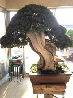 Bonsai... This is such a grand substantial bonsai this is... The source page is in another language and I can not tell what kind of tree this is.