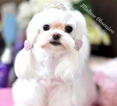 Korean Asian Style Cut, Maltese Groom - How to Trim Korean Face on Dog a...