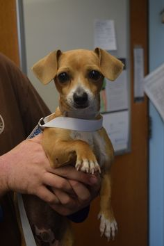 9/25/16 -This is Poncho, a male (who we think might actually be a chihuahua/doxie mix) He's around one year old. The male is very friendly and happy and likes to play. He sometimes takes minute to warm up to new people. He'd do best as the only dog in the home. Available at Islip Animal Shelter, Bayshore, NY.
