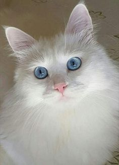 Click the Photo For More Adorable and Cute Cat Videos and Photos – Mr. Hap Click the Photo For More Adorable and Cute Cat Videos and Photos Click the Photo For More Adorable and Cute Cat Videos and Photos Cute Cats And Kittens, I Love Cats, Crazy Cats, Cool Cats, Kittens Cutest, Fluffy Kittens, Baby Kittens, Ragdoll Cats, Pretty Cats