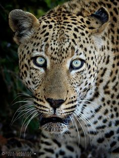 www.africaninsight.co.za #africaninsight #southafrica #africa #wildlife #krugernationalpark #kruger #volunteer #transformationaljourney #bucketlist #safari #youthtravel #youth #experience #somkhanda #leopard #cat #cats #dangerous #animal #leopardprint #predator #zululand