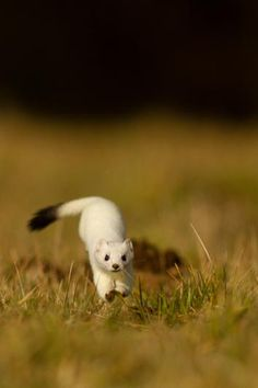 The stoat, also known as the ermine or short-tailed weasel