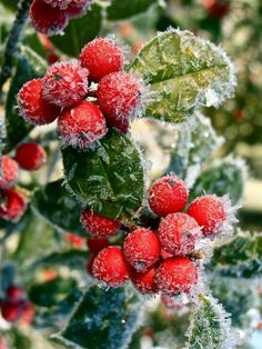 Frosted berries in the snow