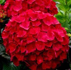 Diy Garden Projects, Hydrangea, Rose, Flowers, Plants, Walled Garden, Gardening, Backyards, Landscapes