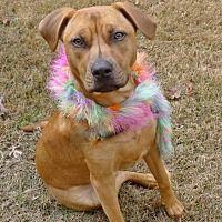 Helena, AL - Rhodesian Ridgeback. Meet Niki a Dog for Adoption.