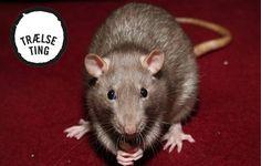 Sådan slipper du for rotter i huset