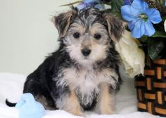Palmer | Keystone Puppies: Puppies for Sale | Health Guaranteed    #morkie #keystonepuppies