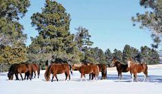 biz Wild horses roam near Alto NM. Photo from the Ruidoso News. Ruidoso New Mexico, Travel New Mexico, New Mexico Homes, New Mexican, Land Of Enchantment, Winter Photos, New Adventures, Wild Horses, Rocky Mountains