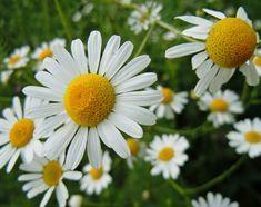 Daftar Nama Bunga Gambar Bunga Cantik Indah Unik Dan Langka Lengkap Dengan Penjelasannya Kumpulan Macam Macam Bunga Hias Terleng Bunga Daisy Tanaman Asli