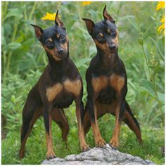 miniature pinscher | Manchester Terrier Vs. Miniature Pinscher - Similarities and ...