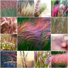 I want some pink grass for my yard - so beautiful! Garden Inspiration, Color Inspiration, Pink Grass, Blowin' In The Wind, Fountain Grass, Color Collage, Beautiful Collage, Pampas Grass, Ornamental Grasses