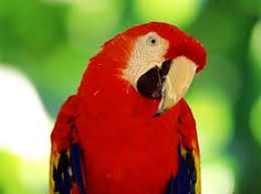 Red Parrot Hd Wide Wallpaper For Widescreen Wallpapers Hd Wallpapers