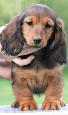 ❤️ Beautiful long-haired dachshund hound puppy.