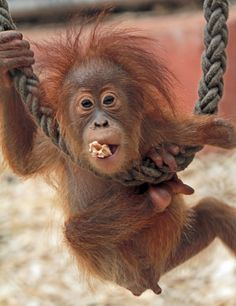 Adorable and Cute Yenko, the Baby Orangutan playing swinging on the rope at…