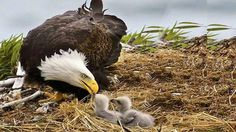 Bald eagle feeding chicks-Beautiful bird Green parrot say hello