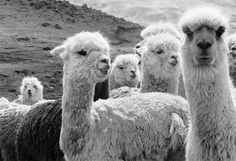 llamas of Cusco by Helena Chriatensen