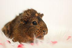 it wuksh keeoot. This Little Piggy, Little Pets, Animals And Pets, Cute Animals, Pet Guinea Pigs, Cute Piggies, Strange Photos, Beautiful Creatures, Fur Babies