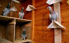 pigeon lofts | Dutch pigeon fancier sold one of his birds for the world record sum ...