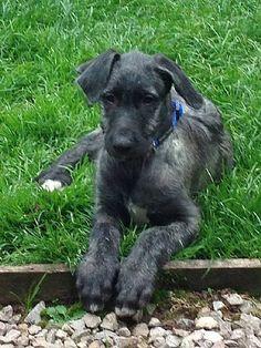 Ardneish-Deerhounds.com | Puppies 9 Weeks
