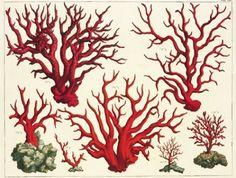 Albertus Seba Cabinet of Natural Curiosities Botanical Illustration, Illustration Art, Vintage Illustrations, Toile Photo, Coral Art, Red Coral, Turquoise, Ernst Haeckel, Natural Curiosities