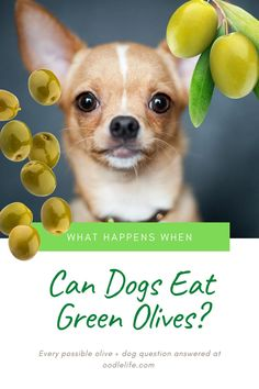 Olives, love them or hate them, there is no denying that they are packed to the brim with health benefits. It is no wonder that so many people wonder whether it is OK to feed them to their dog. Toxic Foods For Dogs, Can Dogs Eat, Dog Eating, Goldendoodle, Cat Toys, Dog Owners, Olives, Health Benefits, Dog Food Recipes