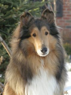 I had the most gorgeous and saintly Collie! best dog in the world!-Google Image Result for http://www.taliesencollies.com/images/Chloe_4_years.jpg