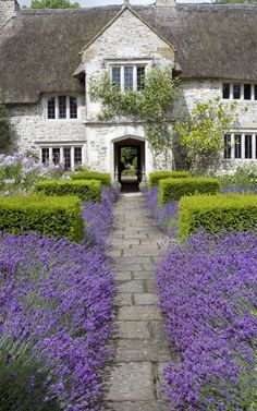 Love this combo of the lavender with the boxwood lining the walkway... stunning!