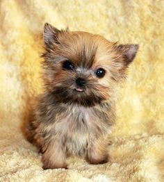 1000+ images about puppies c: on Pinterest | Teacup ...