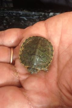Turtle - Newborn