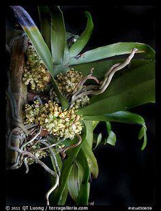 Pomatocalpa brachybotryum. A species orchid (color)