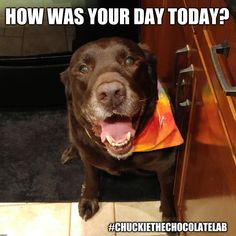 An image tagged chuckie the chocolate lab teamchuckie,how was your day,dogs,memes,cute Black Lab Puppies, Dogs And Puppies, Doggies, Funny Animals, Cute Animals, Animal Funnies, Baby Animals, I Love Dogs, Cute Dogs