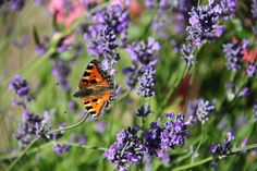Butterfly and lavenders in Danish garden by blogliebling.dk