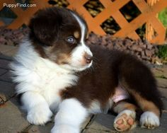 Australian Shepherd puppy red tri color