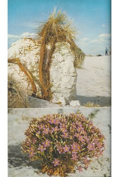 Yucca roots and a centaurium plant, White Sands National Monument, New Mexico, 1957