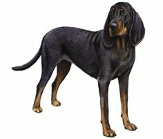 black and tan coonhound photo | Black and Tan Coonhound 300x255 Black and Tan Coonhound Dog Breed ...