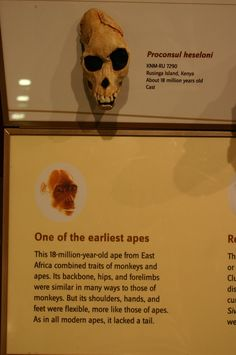 680px-KNM-RU_7290._Proconsul_heseloni.jpg (680×1024) - Hall of Human Origins, the Smithsonian National Museum of Natural History, USA. Auteur : Ryan Somma, 1980.