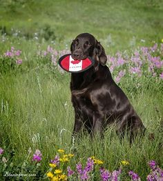 Flat Coated Retriever ~ Classic Look & Trim