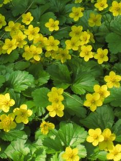 Geum fragarioides Appalachian barren strawberry from North Creek Nurseries Succulents Garden, Garden Plants, Evergreen Groundcover, North Creek, Green Mat, Ground Cover Plants, Spring Plants, Shade Plants, Native Plants