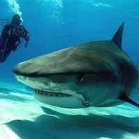 Requin bouledog