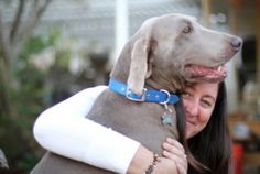 CalWEAR - California Weimaraner Education and Rescue