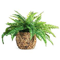 "28"" Boston Fern in Basket, Faux ($122) ❤ liked on Polyvore featuring home and home decor"