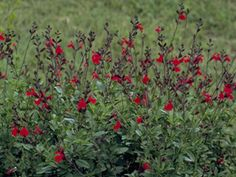 Salvia greggi (red variety) 'autumn sage' 'cherry sage' has done well in our backyard ~ Fort Worth, TX