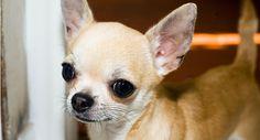 Razas de perros: Chihuahua #perro #perros #mascotas